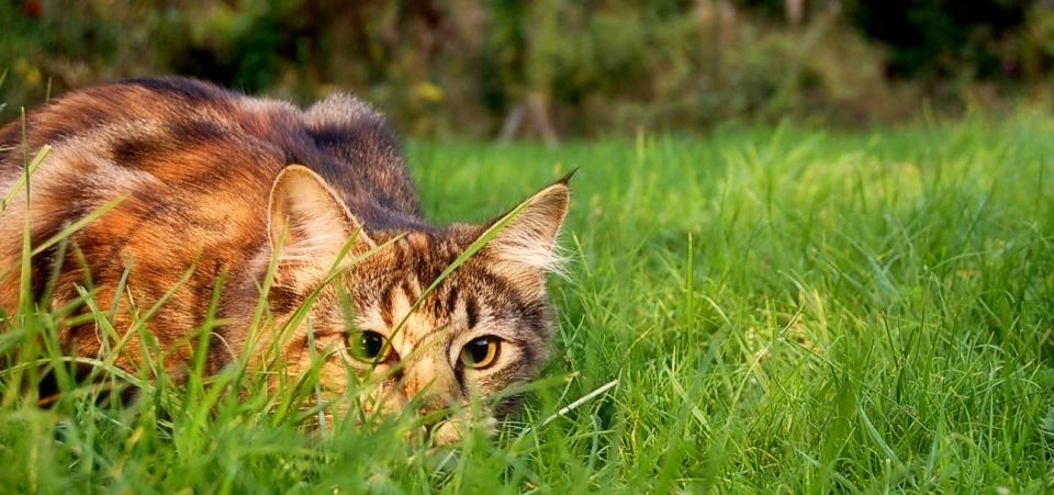 CatstalkpreyWIKICOMMONS